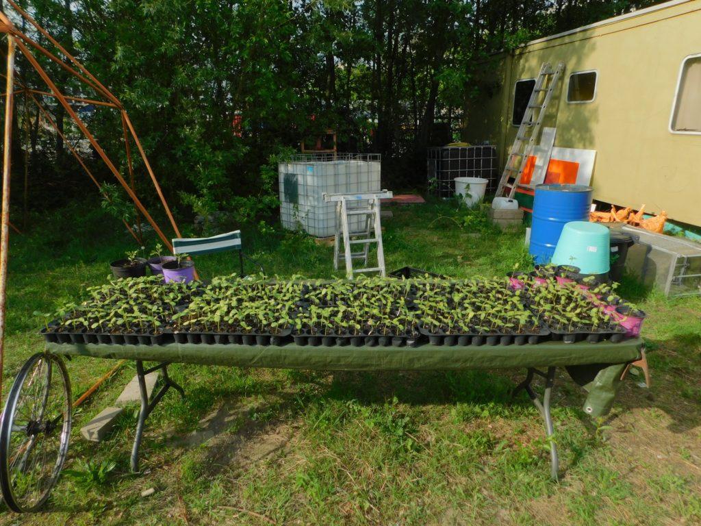 500 zonnebloemplantjes!